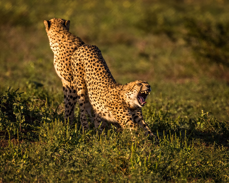 Downward Facing Cheetah (Phinda Game Reserve, South Africa)