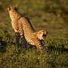 Downward Facing Cheetah (Phinda Game Reserve, South Africa)
