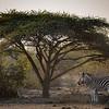 Zebra Under The Fikius  - Rukiya