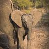 Young Elephant Displaying