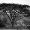 Zebra Under The Fikius.bw - Rukiya