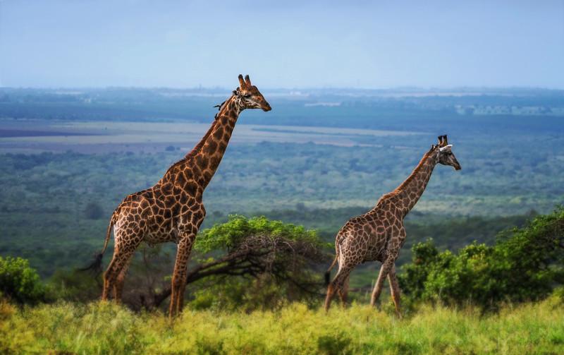 Giraffes on a Hill (South Africa)
