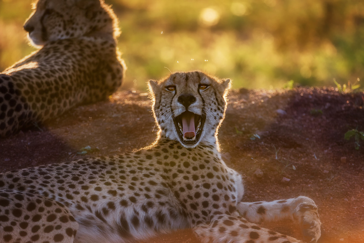Cheetah's at Sunset (Phinda Game Reserve, South Africa)