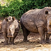 White Rhinos (South Africa)