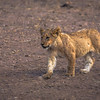 Lion Youngster