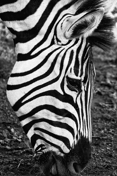 Grazing Zebra (Safari - South Africa)