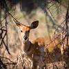 Bushbok Doe Hiding, Blyde River - Rukiya