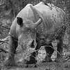 Rhino Black and White in the Bush