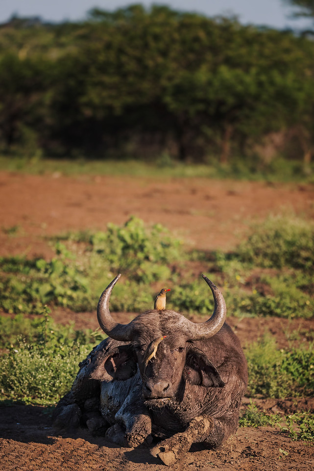 Cape Buffalo with Birds (Safari - South Africa)