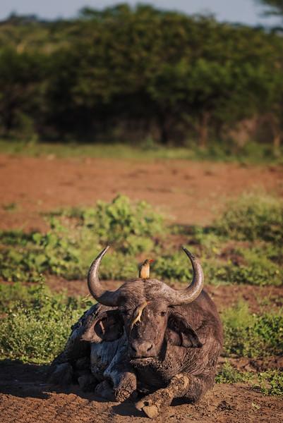 Cape Buffalo with Birds (Safari - South Africa)