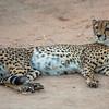 Tombi Cheetah Relaxing - Rukiya