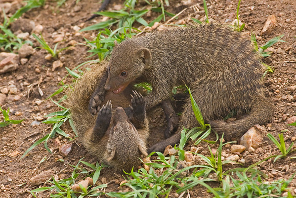Mongoose play