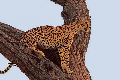 Cheetah Watch, Samburu Reserve, Kenya