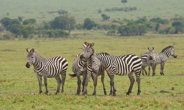 Plains zebras in the Mara