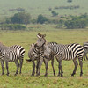 Plains zebras in the Mara