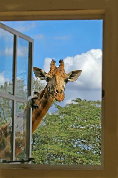 Giraffe Manor visitor, Kenya.