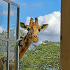 Giraffe Manor visitor, Kenya.