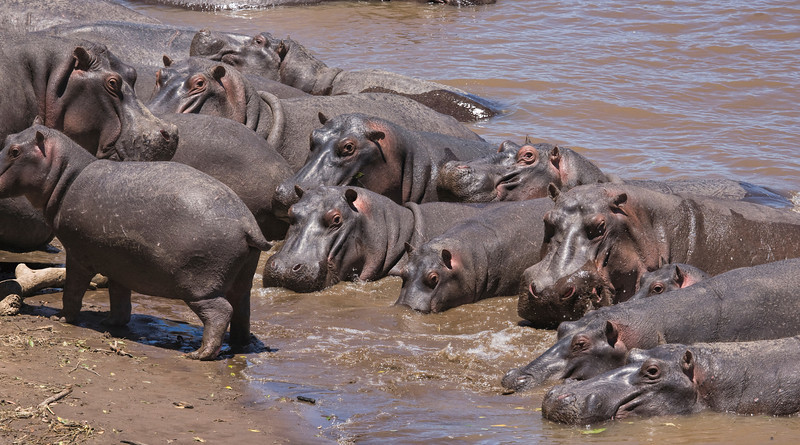 Raft of Hippopotamus
