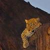 Night Watch- Leopard