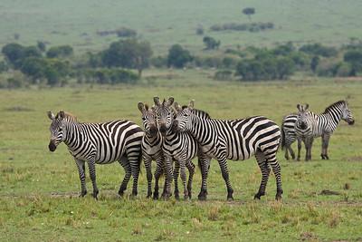 Zebra chorus