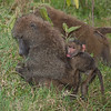 Olive baboon family
