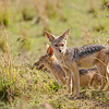 Jackal pups at the den