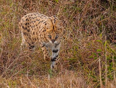 Serval stalking