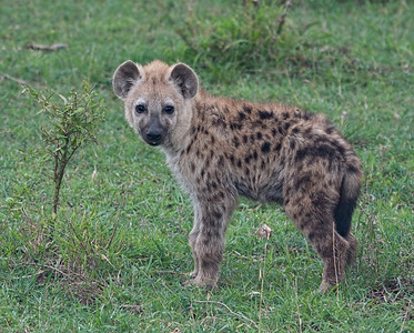 Young hyena portrait