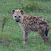 Young hyena portrait