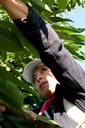 Reynalda, Cherry Picker - Yakima Valley Cherry Harvest