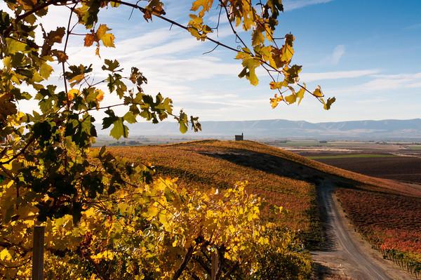 Vineyard in the Lower Yakima Valley