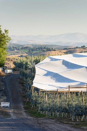 Shade cloth covers a just harvested orchard of Honey Crisp apples west of Yakima, WA.  #4257