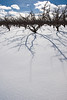 Snow-bound Apple Orchard on Naches Heights above the Naches River Valley