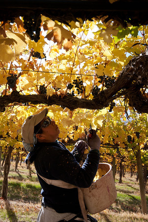 Picking Wine Grapes