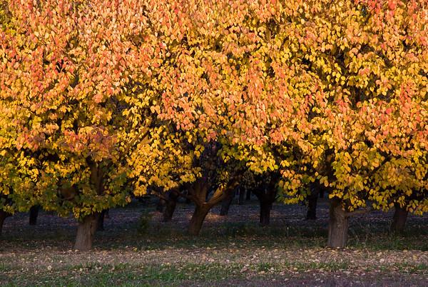 Apricot orchard in the Lower Yakima Valley