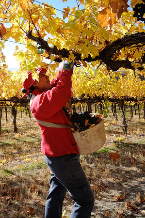 Grape Picker - Yakima Valley Wine Grape Harvest