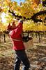 Grape Picker - Yakima Valley Wine Grape Harvest
