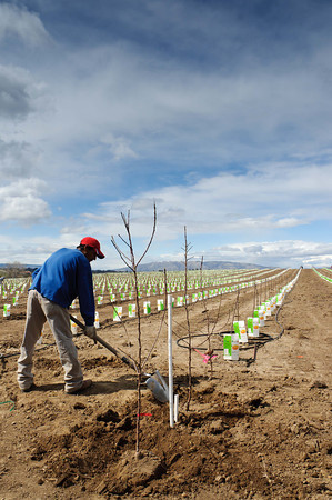 Planting the last trees - Yakima Valley Orchard