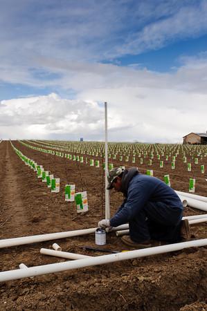 Installing irrigation pipe - Yakima Valley Orchard