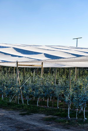 Shade cloth covers a just harvested orchard of Honey Crisp apples west of Yakima, WA.  #4283
