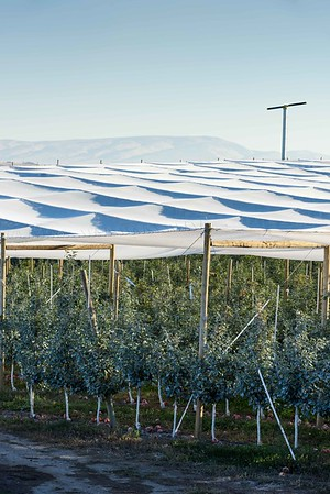 Shade cloth covers a just harvested orchard of Honey Crisp apples west of Yakima, WA.  #4270