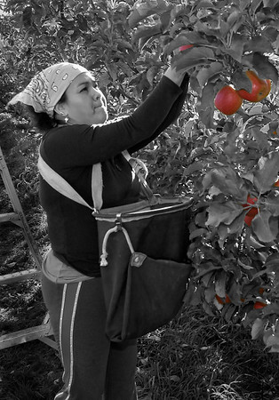 Ciria - Apple picker in the Lower Yakima Valley near Zillah