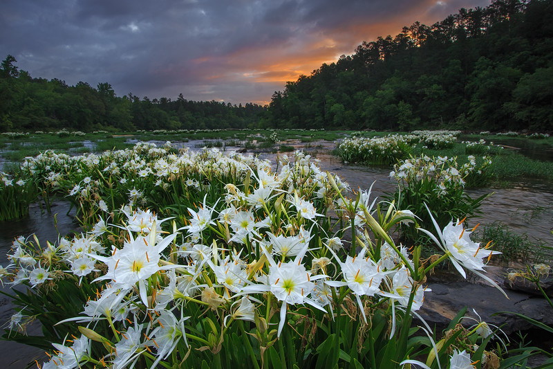 Cahaba Lilies at Sunrise