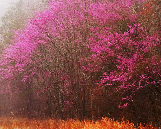 Grove of redbuds captured in Bankhead National Forest in Lawrence County, Alabama