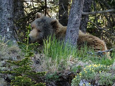 Napping Bear