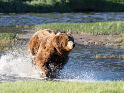 Splashing Bear