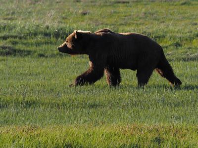 Bear Sillouette