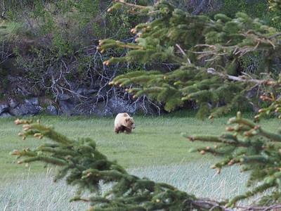 Meadow Bear