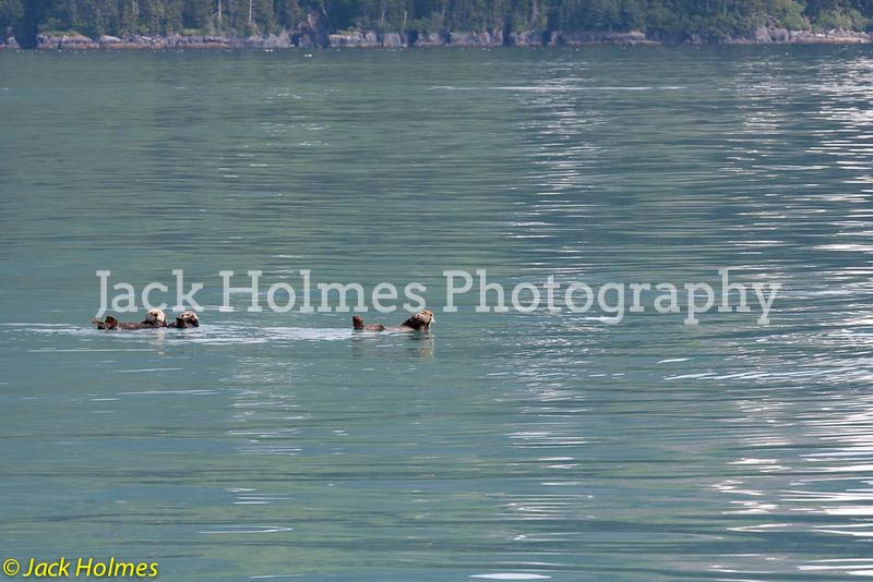 Sea Otters taking it easy - Seward.