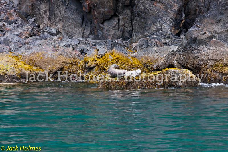 Seals taking a nap - Seward.